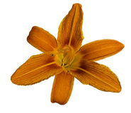 Lily Stock Images