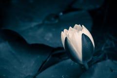 lilyn flowern dell'acqua del loto Fotografia Stock