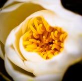 lilyn flowern dell'acqua del loto Fotografie Stock