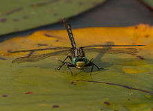 Lilypad Clubtail Photo stock