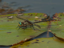 Lilypad Clubtail Images stock