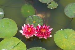 Lilypad_flowers στοκ φωτογραφίες