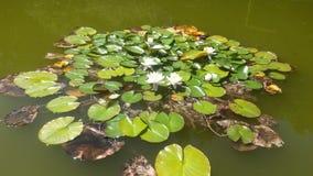 Lilypad hord royaltyfria foton