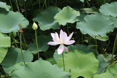Lilypad Stock Images