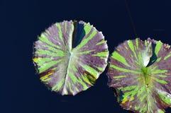 Lilypad. Two lilipads amidst a dark pool Stock Photo