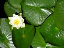 lilypad waterlily Obrazy Stock