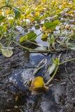 Lilypads στη λάσπη Στοκ φωτογραφία με δικαίωμα ελεύθερης χρήσης