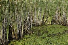 Lilypads и cattails в трясине Стоковые Изображения