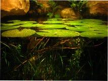 Lilypads ожидает лягушек Стоковое фото RF