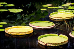 Free Lilypads Stock Photos - 79611353