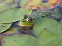 lilypads żab Zdjęcia Stock