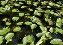Lilypads dans les marais Image stock
