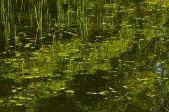 Lilypads, das auf die Oberfläche von Felsen-Teich im Adirondack schwimmt Lizenzfreie Stockbilder