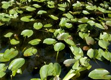 Lilypads in the Everglades Stock Image