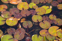 Lilypads floating on pond Royalty Free Stock Photography