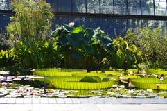 Lilypads gigante Fotografia de Stock