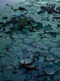 Lilypads i aftonen Arkivfoton
