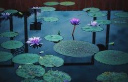 Lilypads i kwiaty w wodzie na Chmurnym dniu obrazy royalty free