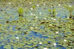 Lilypads i våtmarkerna Arkivbilder