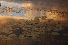 Lilypads met Zonsondergangbezinning stock fotografie