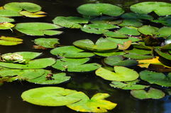 Lilypads ` Nymphaeaceae ` Stock Afbeelding