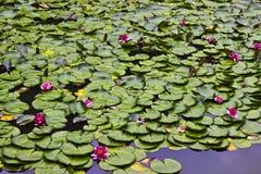 Lilypads och lotusblommablommor Royaltyfri Fotografi