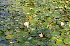 Lilypads oder waterlily auf einem Teich lizenzfreie stockfotos