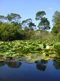 lilypads på en lake royaltyfri foto