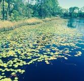 Lilypads på Florida Royaltyfri Foto