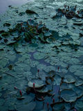 Lilypads por la tarde Fotos de archivo