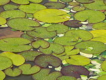 Lilypads after the rain. A cluster of wet lilypads in different shades of green and brown. Rain and  has gathered in droplets on the surface of each pad. The Stock Photography