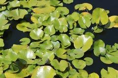 Lilypads som fritt svävar Arkivfoton