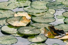 Free Lilypads Starting To Dry To Yellow In August Stock Photo - 134434330