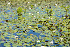 Lilypads in the Wetlands. Lilypads quietly floating in a pond in in the wetlands Stock Images