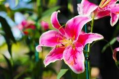 LilyPink rosado Lily Flower 21-12-17 Imagenes de archivo