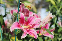 LilyPink rose Lily Flower 21-12-17 Photos stock