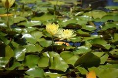 水lilys小轿车在叶子之间的 免版税图库摄影