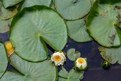 Lilys и большая пусковая площадка лилии Стоковое Фото