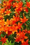 Lilys. Orange lily's plant  background Stock Photos