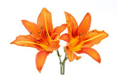 Lilys Royalty Free Stock Image