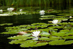 水lilys 免版税图库摄影