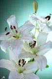 Lilys Fotografia Royalty Free