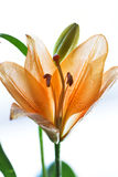 Lilys. Orange lily on the white background Royalty Free Stock Image