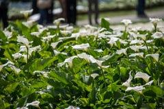 Lilys brancos bonitos de um Calla em um fundo verde do solo imagem de stock royalty free