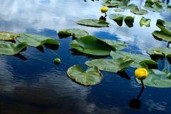 Lilys en el lago de la montaña fotografía de archivo libre de regalías