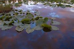 Lilys en el lago de la montaña en la puesta del sol foto de archivo libre de regalías