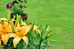 Lilys giallo, Lilium Immagine Stock Libera da Diritti