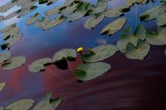 Lilys in het bergmeer bij zonsondergang Royalty-vrije Stock Foto's