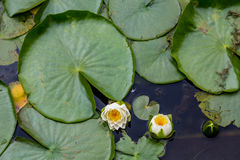 Lilys and Large Lily Pad Stock Photo