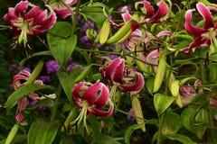 Lilys rossi Fotografie Stock Libere da Diritti
